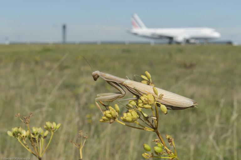 Une mante religieuse devant un avion sur piste
